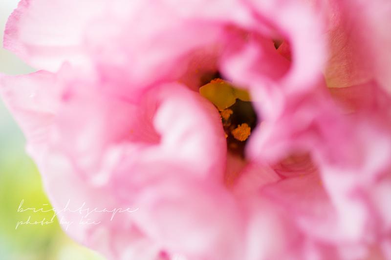 トルコキキョウ