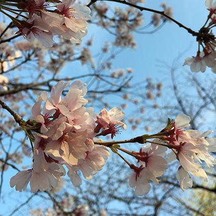 iPhoneカメラで桜を撮影
