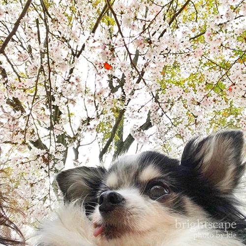 iPhoneで桜スナップシード